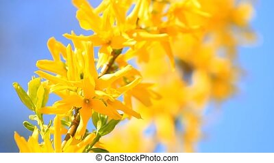 Forsythia flowers blossom on blue sky background