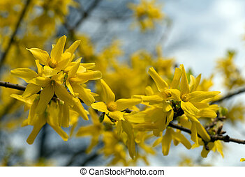 Forsythia flowers in the spring park background - Beautiful...