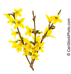 forsythia flowers isolated on white background