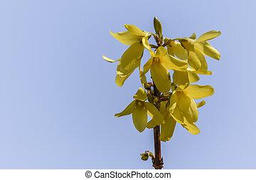 forsythia in bloom in spring