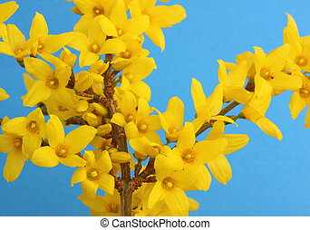 Forsythia in full bloom on a blue background