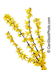 Forsythia Oleaceae flowers spring time isolated on white background