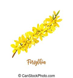 Forsythia suspensa, Easter tree, spring branch with blossoming yellow flowers. Vector illustration. Spring decor. Golden Bell, europaea blooming in garden bush for prints, posters, cards