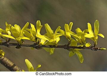 forsythia, un, hermoso, primavera, arbusto, con, flores amarillas