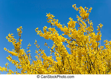 yello forythia bush in front of blue sky