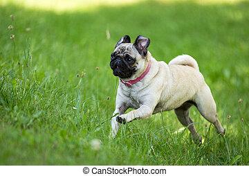 Fortunately Pug - A brown pug running through a green...