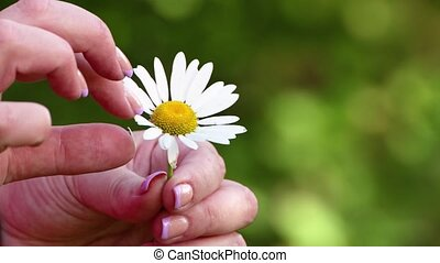 Fortune telling on a chamomile, predicting the future. Close-up of female fingers plucking petals. Yellow-white flower on a background of green plants in defocused light. Soft daylight.