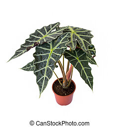 Fortune Tree, A small of Tricolor Nephthytis tree in the red pot over white background
