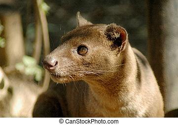 Fossa (Cryptoprocta ferox) - The rare Madagascarian...