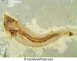Fossil Fish - Fossil fish in the stone