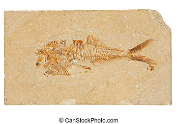 Fossil Fish - This 50 million year old, Eocene-Era fossil ...