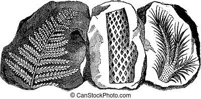 Fossil footprints of a fern, vintage engraving.
