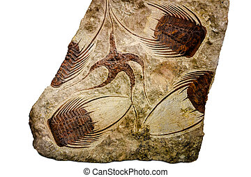 Fossil of starfish and trilobite, morocco