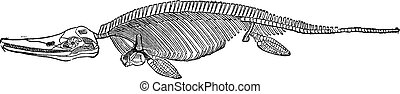 Fossil skeleton of the ichthyosaur, vintage engraving.