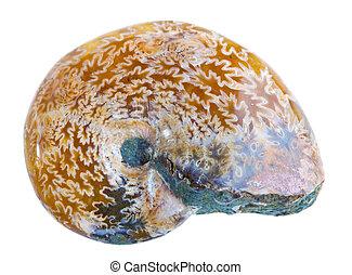 fossile ammonite
