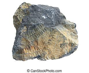 fossile, fougère