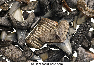 fossilized shark teeth isolated on a pure white background