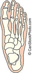 fot, anatomi, ben, mänsklig