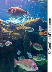 foto, coral, colonia, mar, rojo