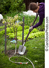 foto, de, mulher, plantar, macieira, em, jardim