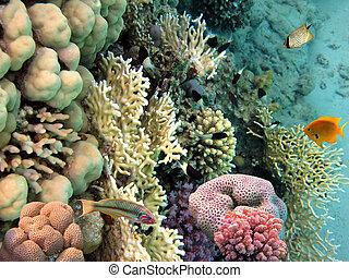 foto, de, un, coral, colonia, mar rojo, egipto
