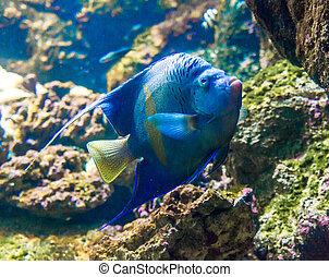 foto, de, un, pez tropical, en, barrera coralina