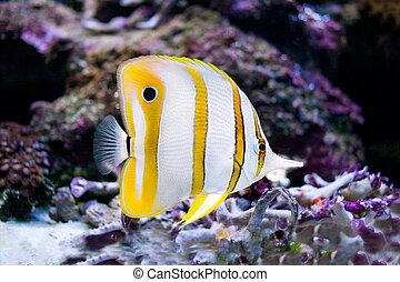 foto, de, un, pez tropical, en, un, barrera coralina