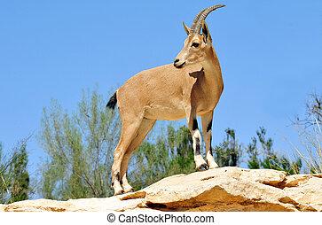 foto, fauna, -, ibex