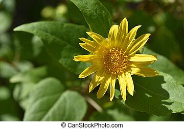foto, impresionante, flor, exuberante, amarillo