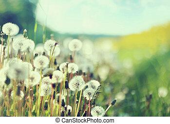 foto, paardebloemen, het voorstellen, akker