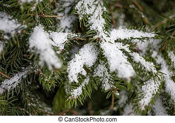 foto, von, tanne, zweig, bedeckt, per, schnee