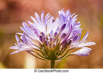 fotografia, flor, coloridos, fundo