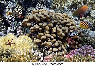 fotografia, od, niejaki, koral, kolonia, na, niejaki, rafa, górny