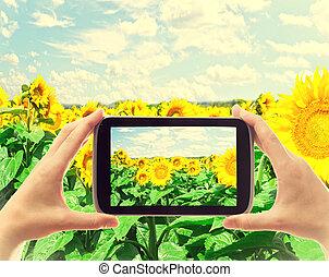 fotografia, słoneczniki, wziąć, pole