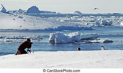 fotografias, antártica, pingüim, leva, pessoa