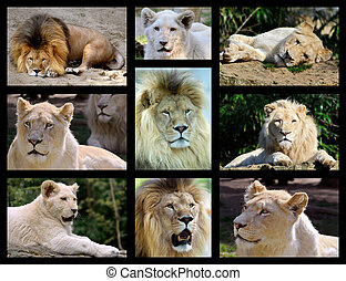 fotografias, mosaico, de, leões