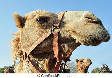 fotografie, dziewiczość, arabski, -, wielbłąd
