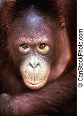 fotografie, dziewiczość, -, małpa