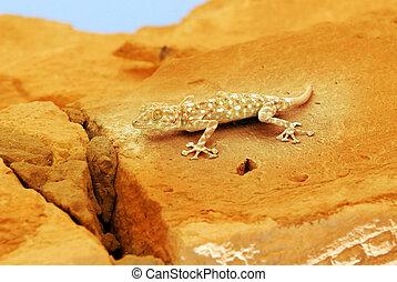 fotografier, naturliv, -, gecko, lizard