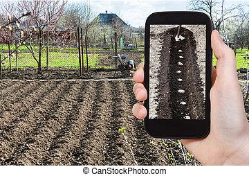 foto's, aanplant, aardappels, farmer