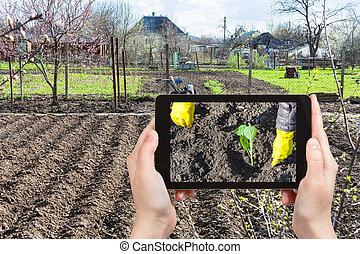 foto's, aanplant, kool, farmer, spruit
