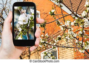 foto's, kersenboom, bloesems, farmer, witte