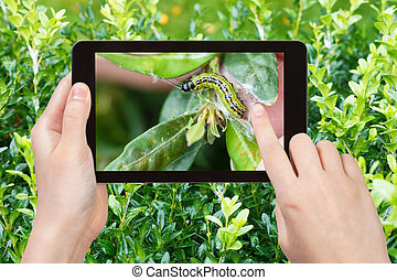 foto's, larve, insect, boxwood, pest, farmer