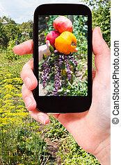 foto's, oogsten, tuin, tomaten, farmer