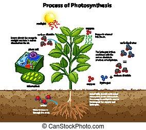 fotossíntese, celas, mostrando, diagrama, processo, planta