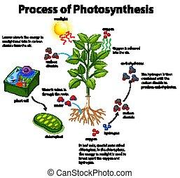 fotossíntese, diagrama, processo, mostrando, celas, planta