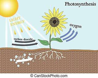 fotosyntes