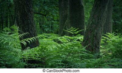 fougères, clairière, forêt, arbres