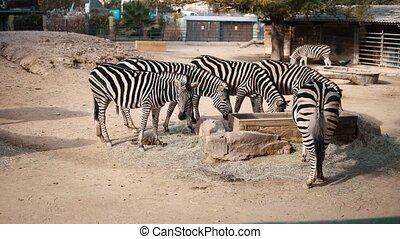 foule, vivant, zoo, zebra, safari