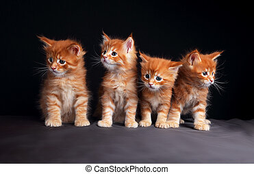 Four adorable bright red solid maine coon kittens sitting...